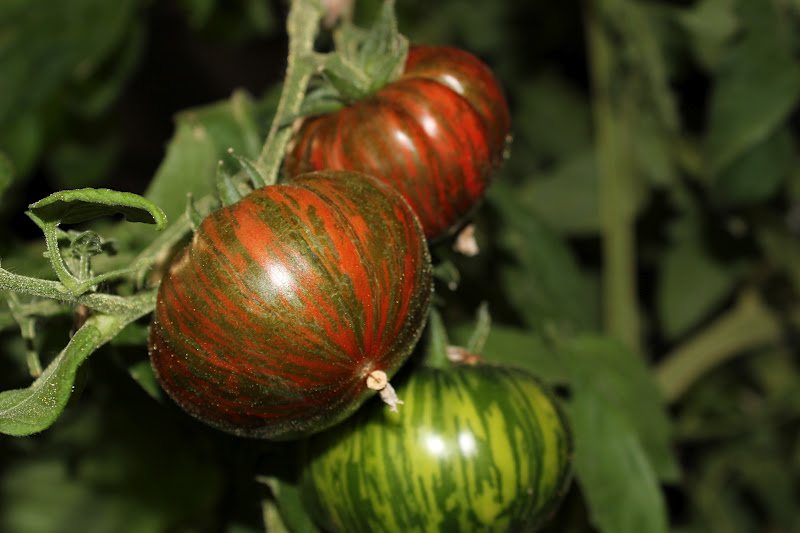 The Nitty Gritty Potager: Tanja's Top Twelve Tomatoes 2012