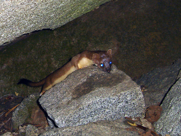Camera Trap Codger Long Tailed Weasel And Rodent Cornucopia