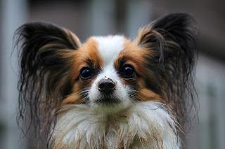 Papillon-dogs-puppies