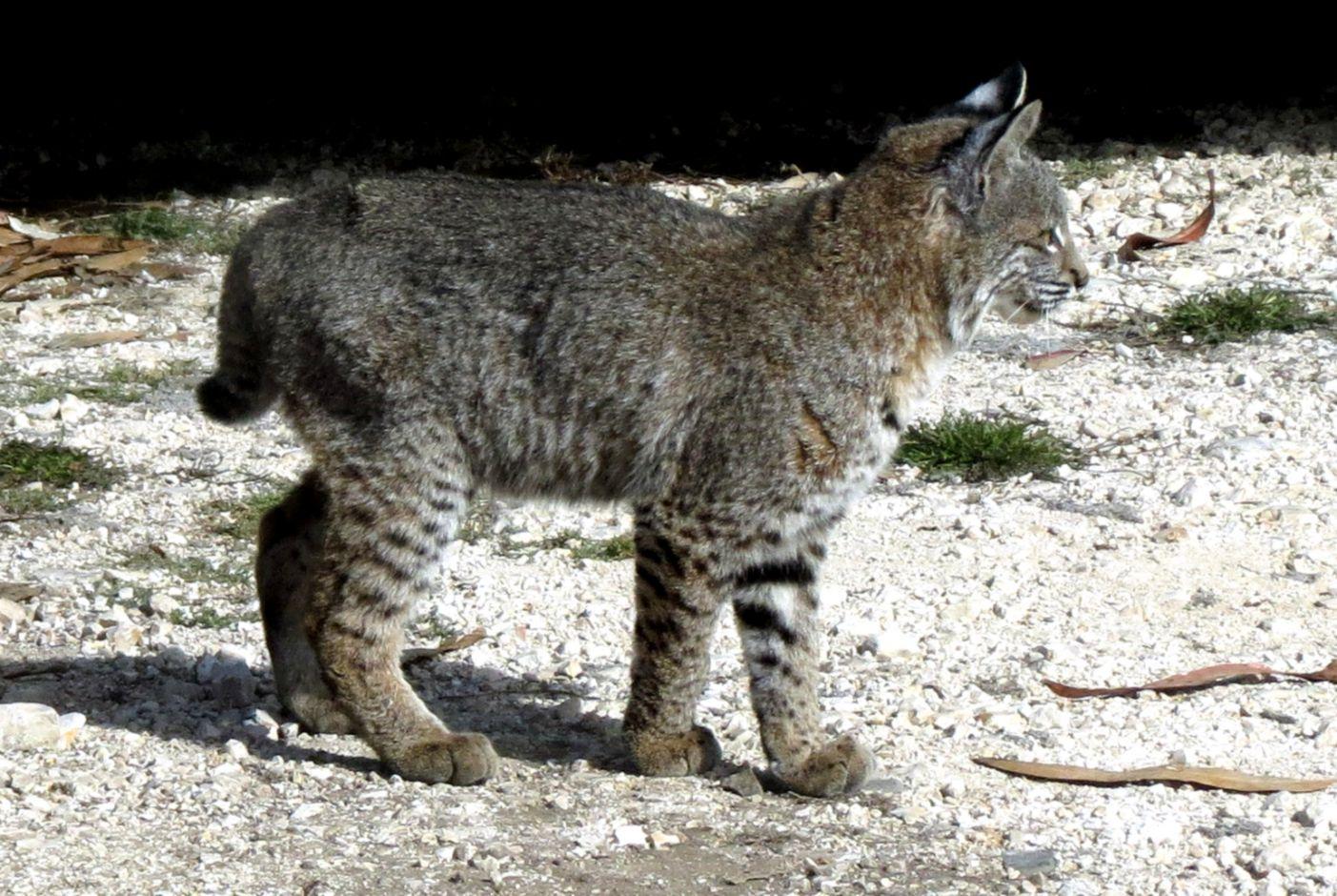 Mark Simkins got photos of Bobcat kittens – Mendonoma Sightings