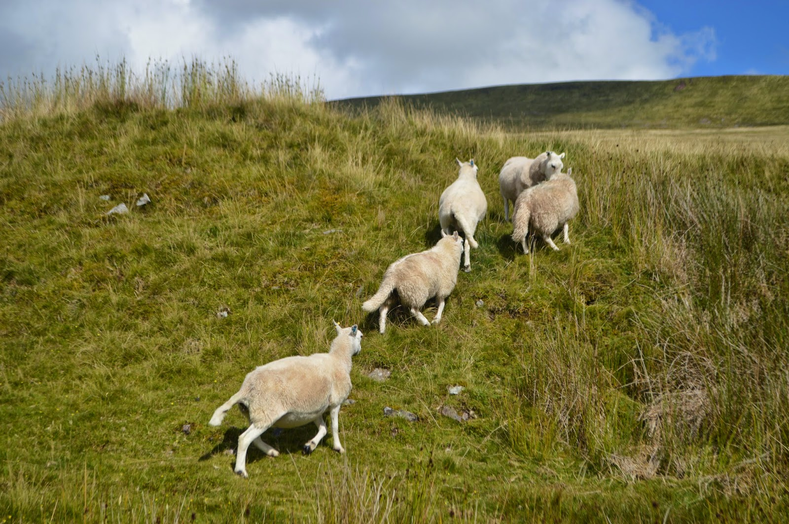 , Lost in Wales and lots More Sheep