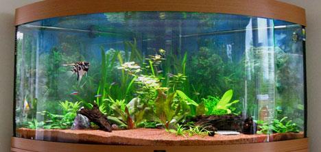 Cara membersihkan kaca aquarium yang berlumut