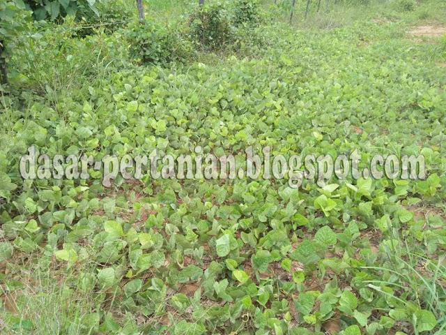 Tanaman penutup tanah yaitu tanaman khusus yang berfungsi untuk menutupi tanah dari eros Inilah Jenis-Jenis Tanaman Penutup Tanah/Legum Cover Crop (LCC)