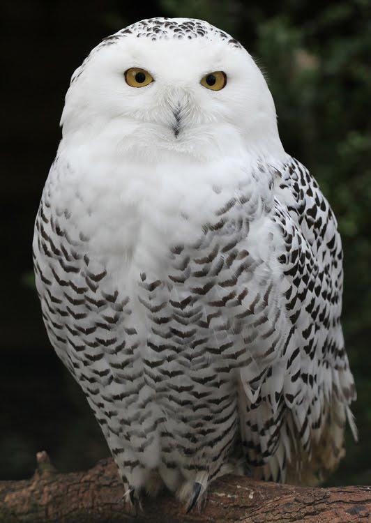 Idaho Nature Notes: Snowy Owls Invade Idaho