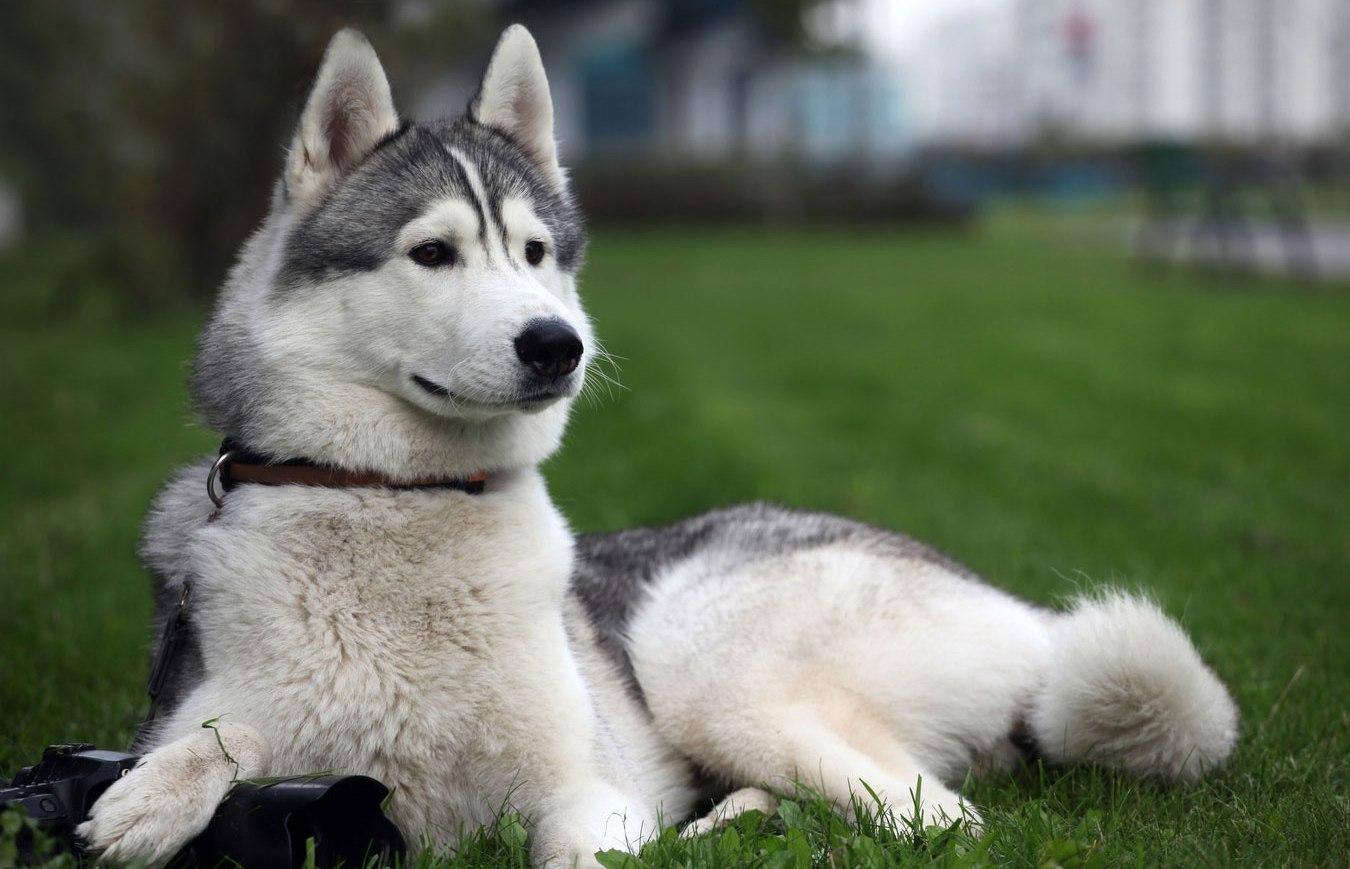 Images Of Husky Dogs: Dog Photo: Siberian Huskies Dog Photo Wallpaper