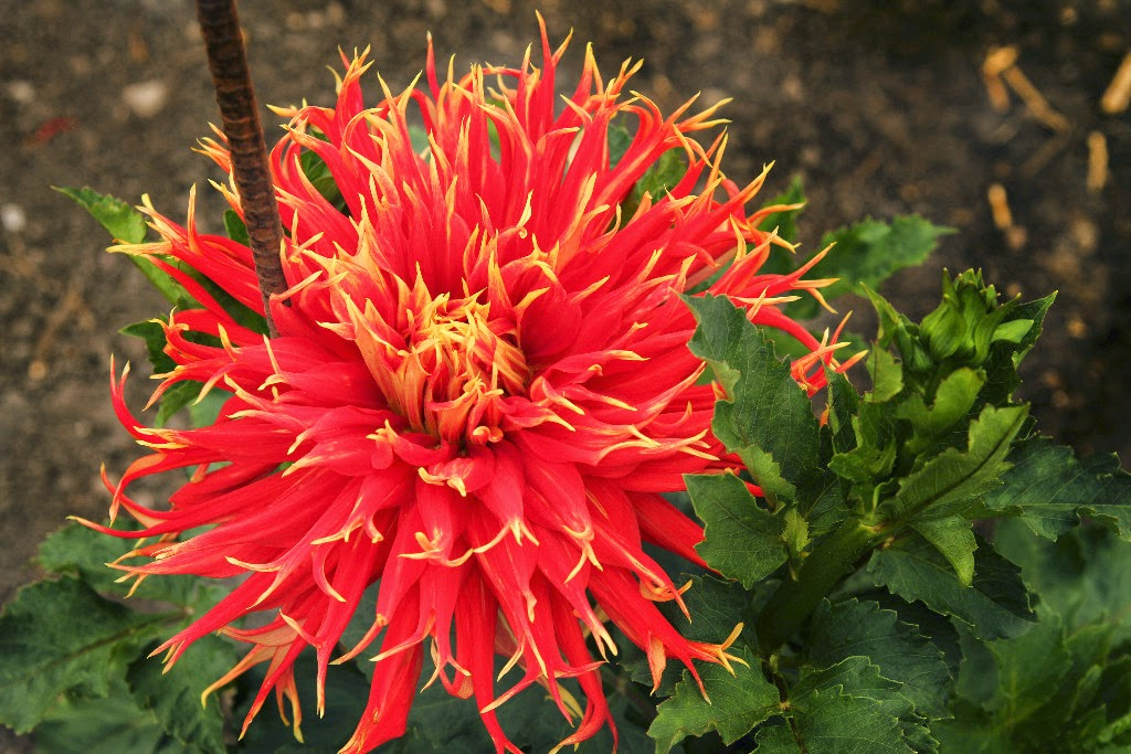 Dahlias- for Color, Form & Beauty, shared by The Radish Patch