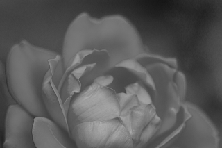 Black and White close up photo of a rose.