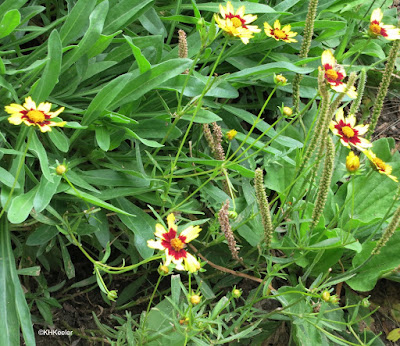 Coreopsis tinctoria, plains coreopsis, golden tickseed