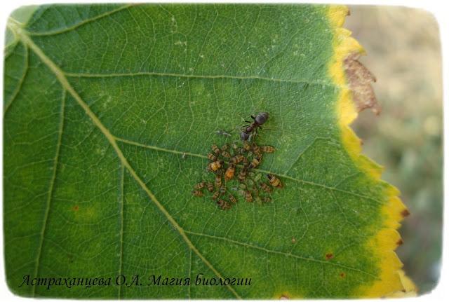 тля-и-муравей-на-березовом-листке