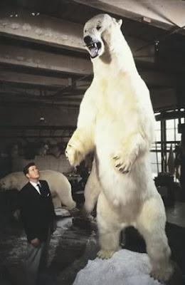 El mayor oso jamás capturado - Oso polar Alaska 1960