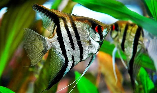 Gambar Ikan Malaikat - Budidaya Ikan