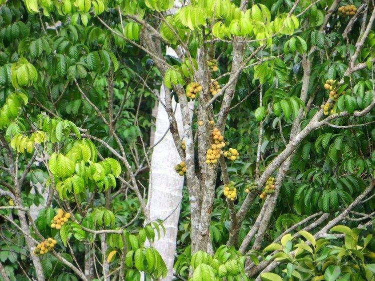 дерево Лонгконг
