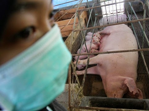 Awas Bahaya Virus Flu Babi