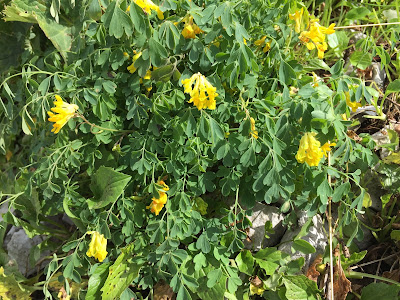 Corydalis lutea – Yellow Corydalis (Colombina gialla).