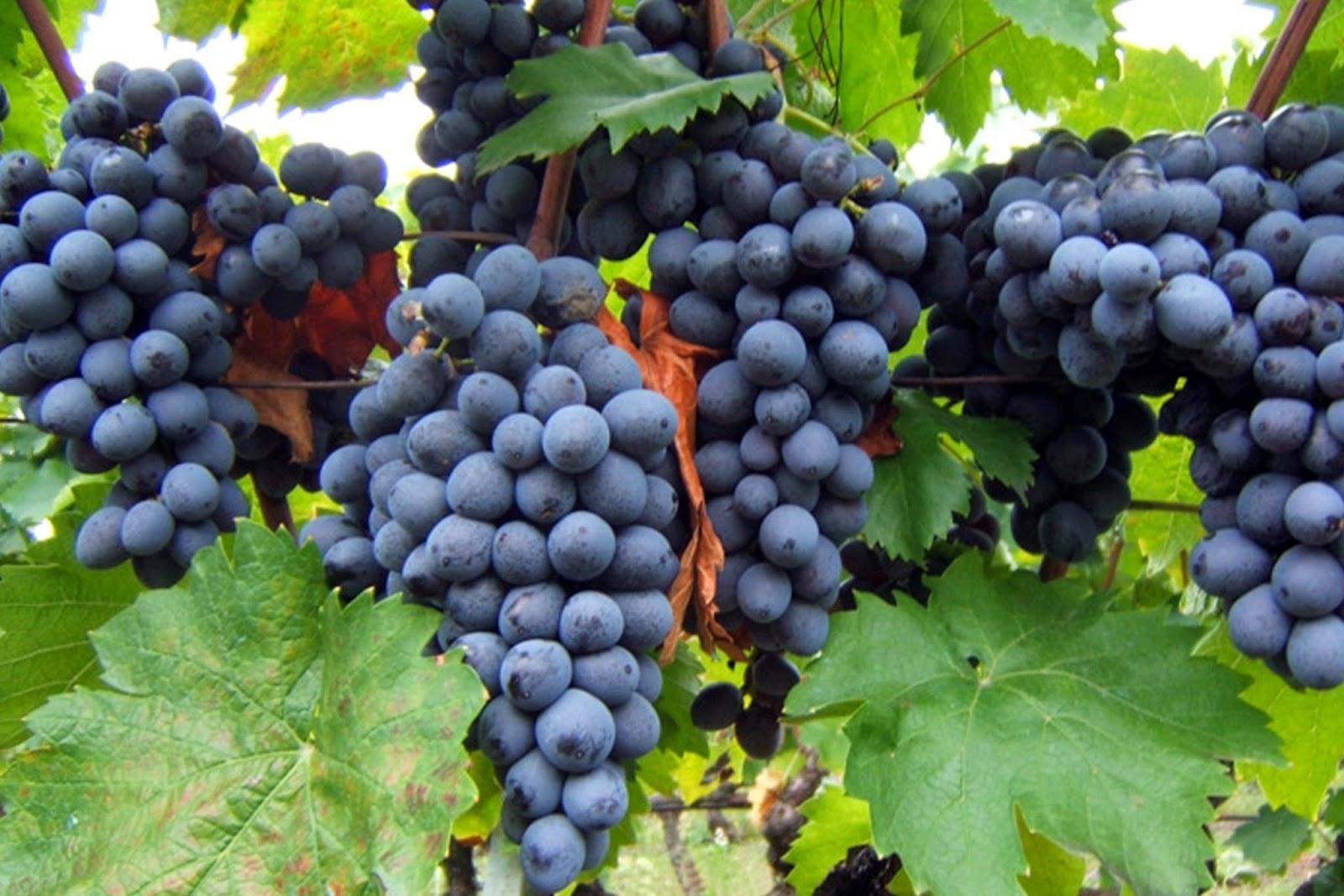Image result for Xinomavro Grapes