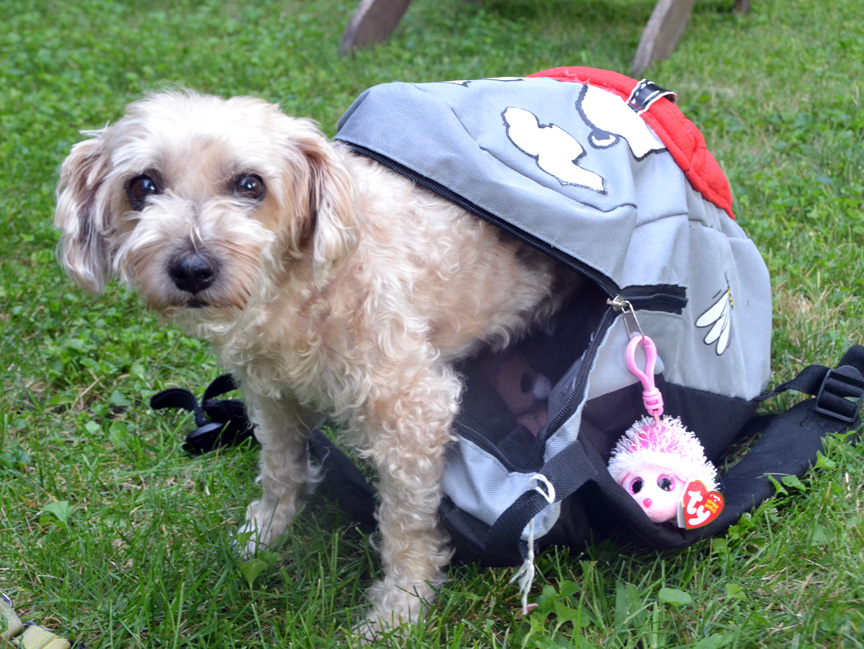 Cute Yorkie-poo tries to go back to school by hiding in backpack