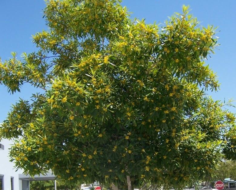 The 2 Minute Gardener Photo Sweetshade Tree