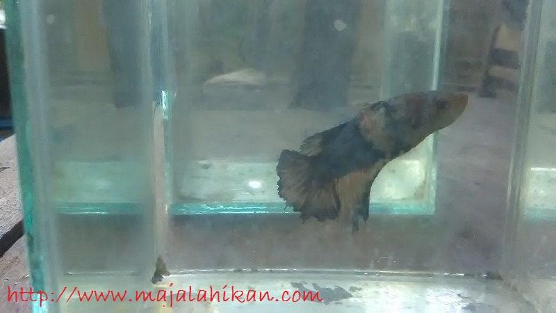 Gambar Cupang Drgon Sakit Kutil Di Badan-penyakit ikan cupang yang tidak bisa diobati