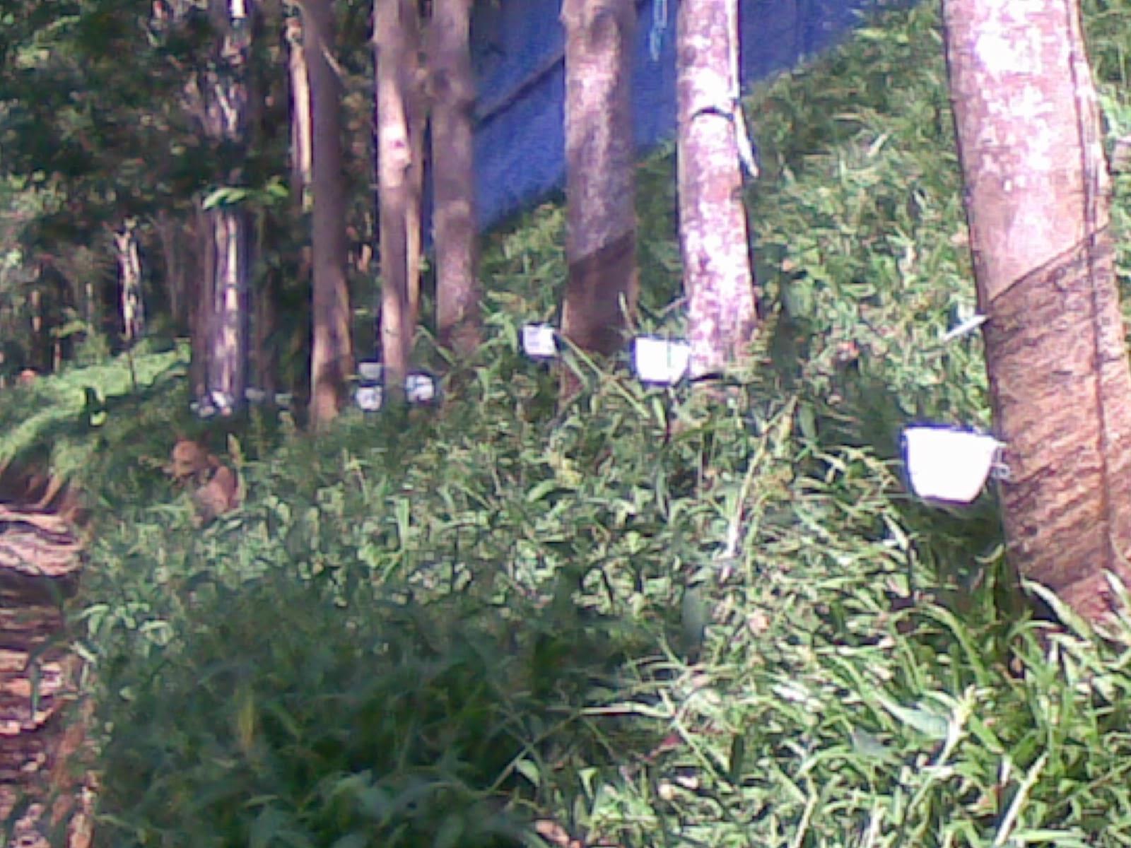 09082014(017) Jual tanah luas 5 Ha, kebun karet yang sudah panen jual tanah di sukaresmi