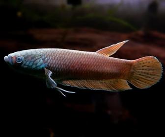 Jenis Ikan Cupang Spesies Betta Ideii