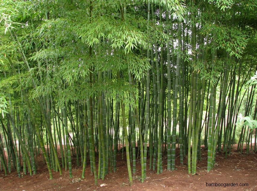 bambu jepang