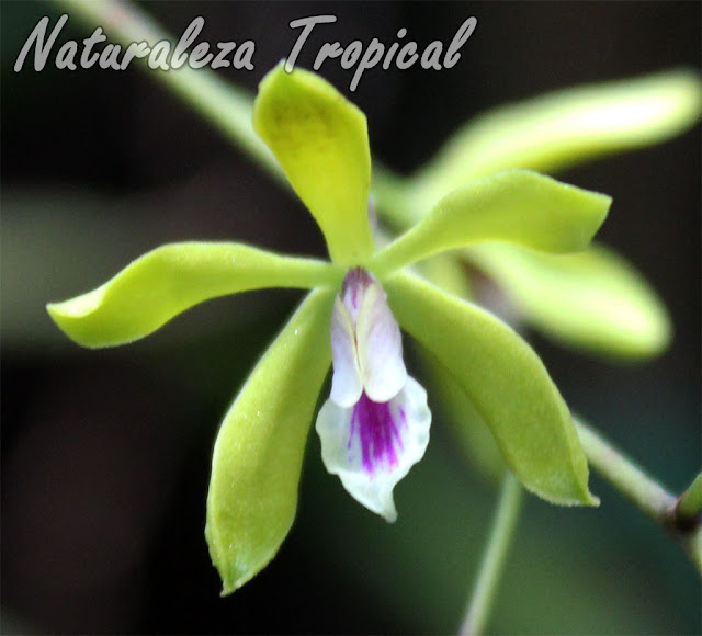 Orquídea epífita con racimos florales muy numerosos. Flores pequeñas pero abundantes. Encyclia fucata.