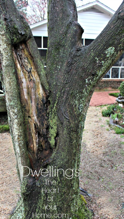 maple tree decay