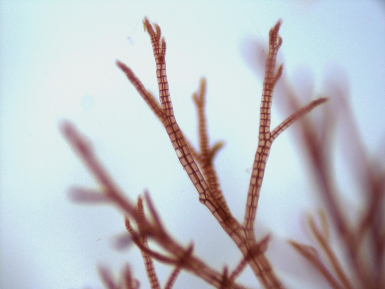 Harbor Watch: Branching Bryozoa and Red Algae  Harbor Watch: B...