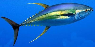 سمكة تونة بزعانف زرقاء, البحر, مجانين,