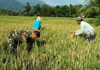 Panen Padi di Desa Sampe Raya, Serma Bolga Ginting Babinsa Koramil 06/Bahorok Lakukan Pendampingan
