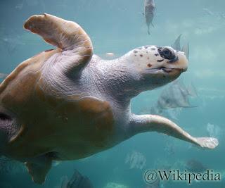 Penyu tempayan (Loggerhead sea turtle)