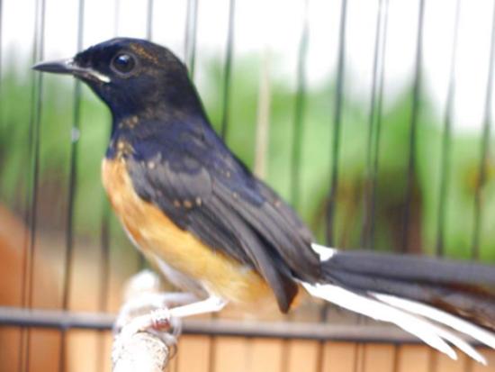 3 Cara Berikut Bisa Membuat Trotolan Murai Batu Cepat Mengeluarkan Suara Hobi Burung