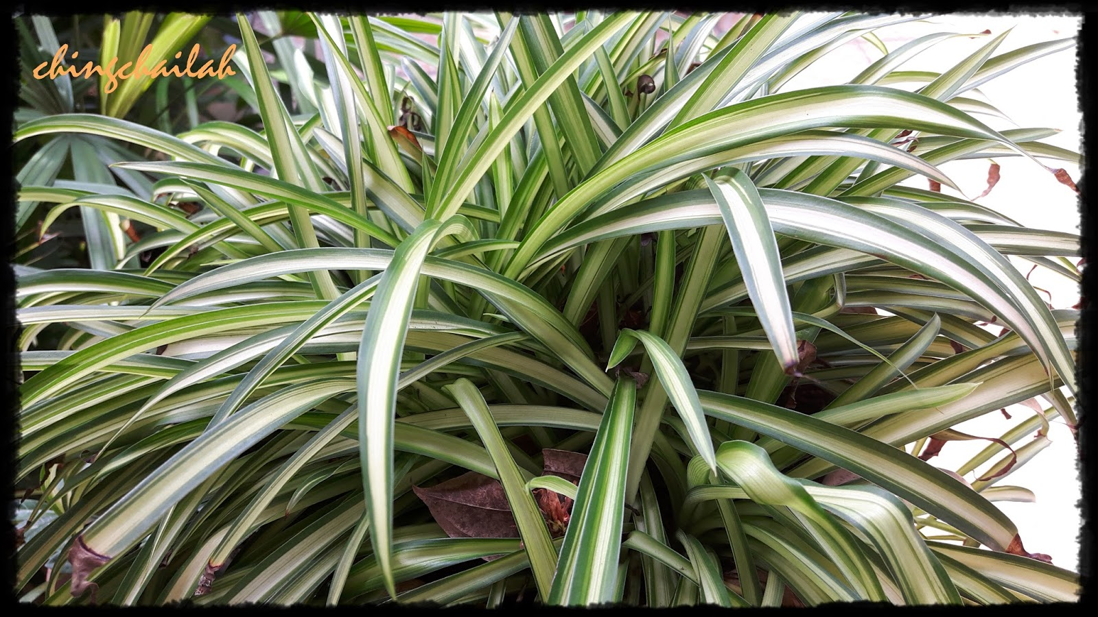 Simple Living In Nancy Growing Spider Plants Chlorophytum Comosum In My Garden