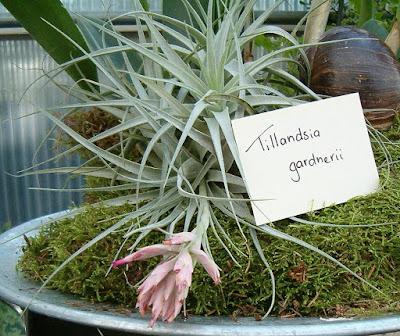 Tillandsia gardneri care and culture