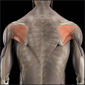 what is scapula