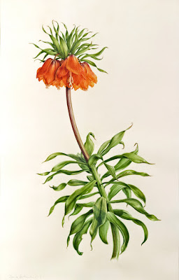 painting of Fritillaria imperialis
