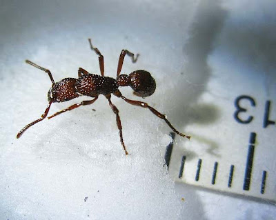Gnamptogenys costata ant worker