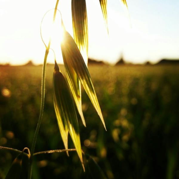 L'espiga banyant-se en raigs de sol (Àlex Valero Liutsko)