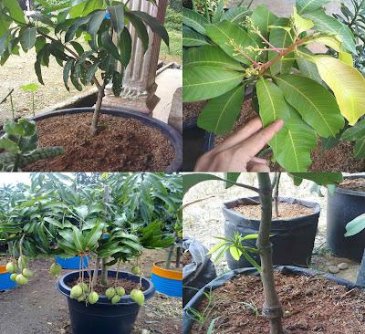 Tips Budidaya Buah Mangga Dalam Pot
