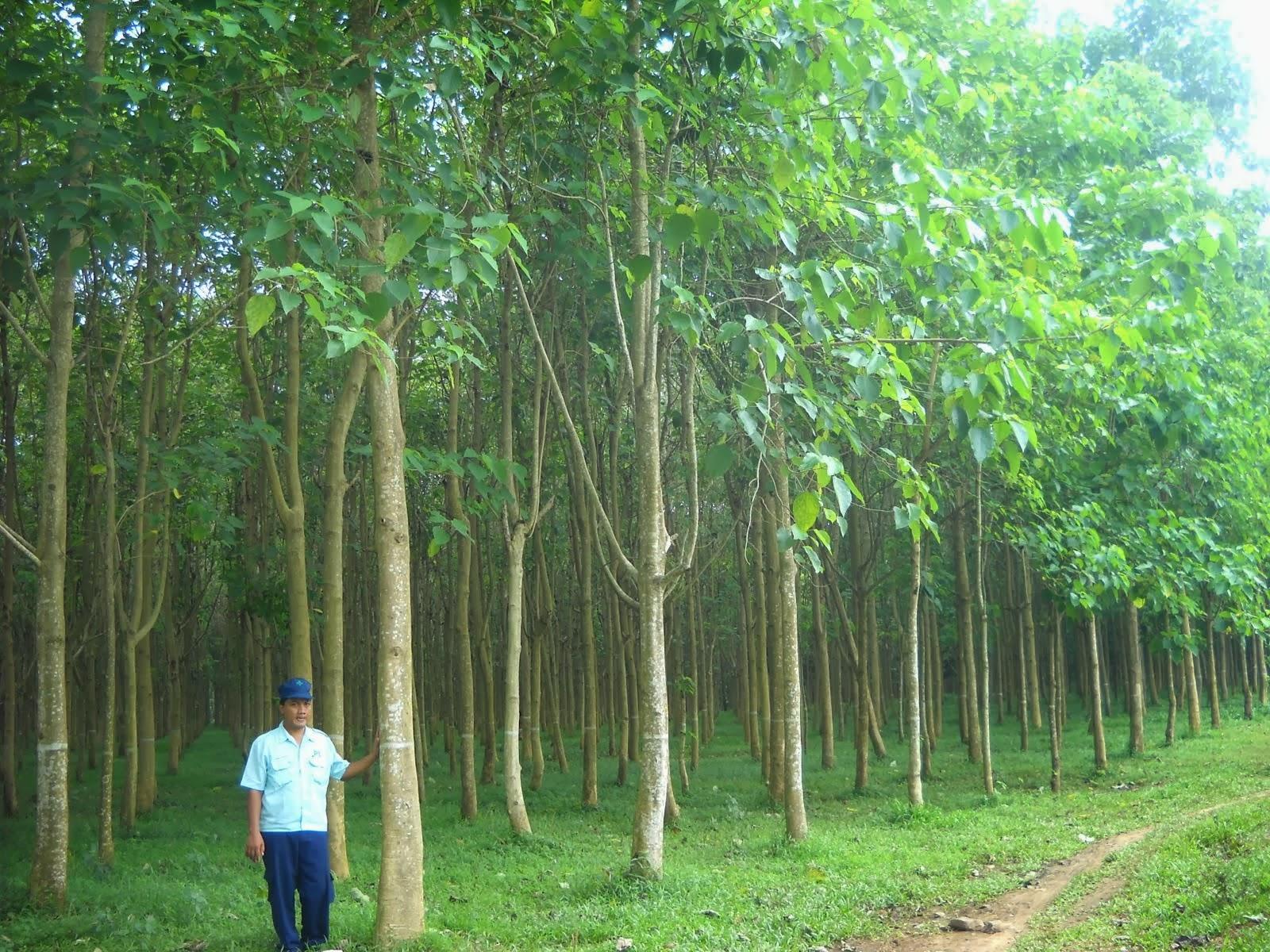 pertumbuhan pohon jati putih setelah dewasa