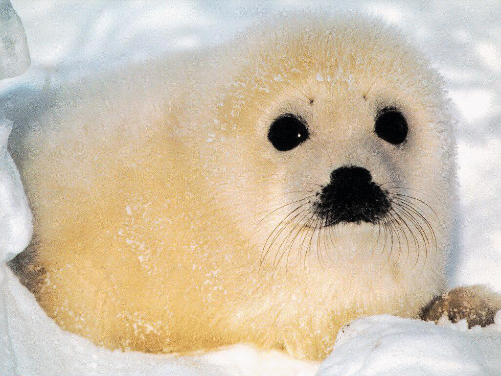 Cute Baby Seals 9361 Hd Wallpapers: Pets Cute And Docile