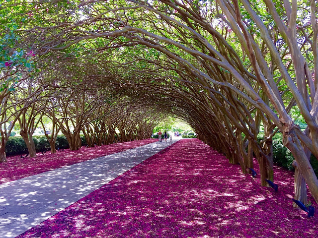 Huge tunnel of pink crape myrtles at the Dallas Arboretum.