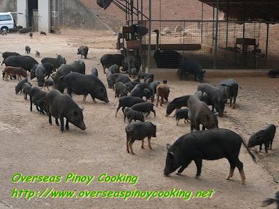 Pigs Everywhere