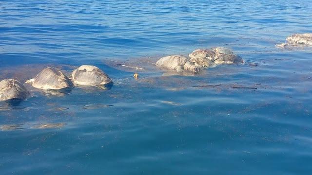 Mueren más de 300 tortugas en costas de Oaxaca