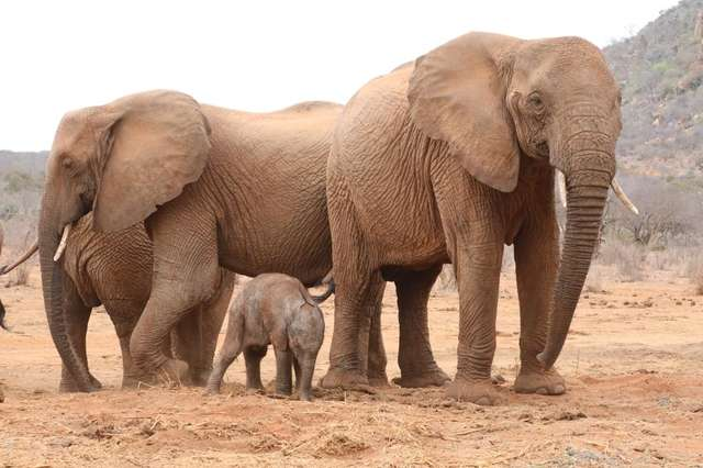 Wild Elephant Brought Her Baby Calf To Meet The People Who Rescued Her