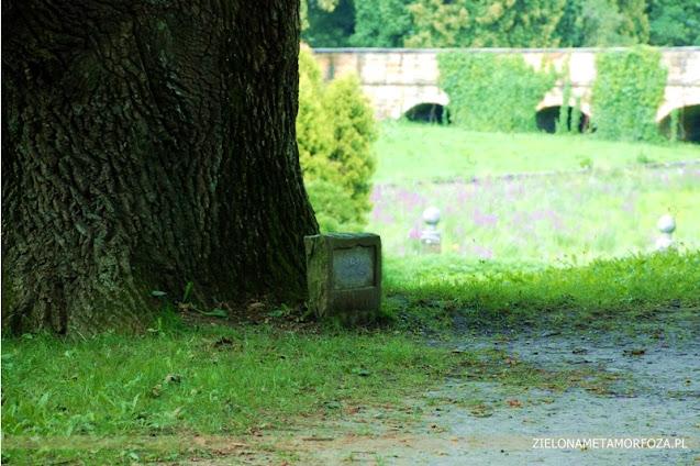 krasiczyn drzewo