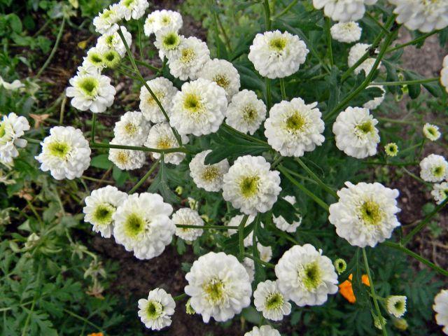 kwiaty ogrodowe, rośliny lecznicze