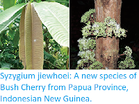 http://sciencythoughts.blogspot.co.uk/2017/12/syzygium-jiewhoei-new-species-of-bush.html