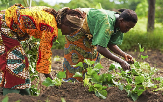 Women farmers train in cassava processing