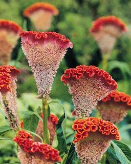 Crista-de-galo, de nome científico celosia cristata - é conhecida também pelos nomes de: crista-plumosa, celosia-plumosa, suspiro. Possui 8 espécies, das quais, algumas são comestíveis.